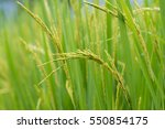 soft focus rice field in rainy... | Shutterstock . vector #550854175