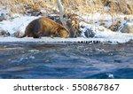 beaver walking on the edge of... | Shutterstock . vector #550867867