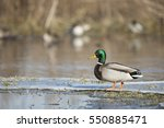 Winter Mallard Duck