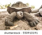 Small photo of Giant Aldabra tortoise (Aldabrachelys gigantea) on Curiouse island in Seychelles.