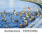 Swimming Ringed Teals In A Pon...