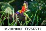 rainbow lorikeet in flight ... | Shutterstock . vector #550927759