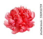Stock photo flower rare salmon colored peony isolated on white background 550933759