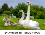Family Of Swans In Lithuania ...