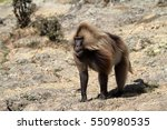 Gelada Baboons In The Simien...