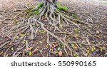 The Bodhi Tree Root