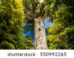 Kauri Trees At The North Islan...