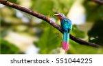 chestnut breasted malkoha | Shutterstock . vector #551044225
