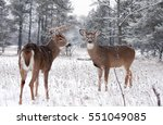 White Tailed Deer Bucks In The...