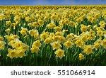 Beautiful Daffodils Field On A...