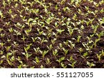 Close Up Of Green Seedling Of...