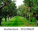 Autumn apple tree grove in...