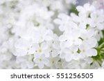Blooming Lilac Flowers. Macro...