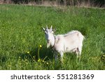 Goat On The Leash In Grass