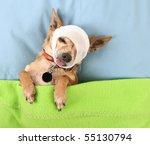 a photo of a tiny cute chihuahua - stock photo