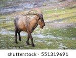 siberian ibex  capra siberia .... | Shutterstock . vector #551319691