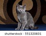 Cute Gray British Cat Sitting...