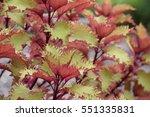 Coleus In Autumn Colors That...