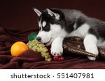 Cute Puppy Siberian Husky With...