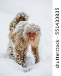 Mom Japanese Macaque With A...