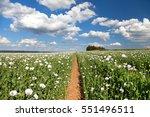 field of flowering opium poppy...