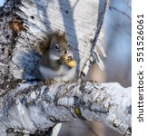 Small photo of American Red Squirrel Eating Peanut in Winter