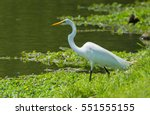 Great Egret Looking For Fish