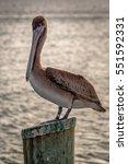Pelican Bird Sitting On A Pole...