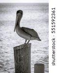 Caribbean Pelican Bird Staring...