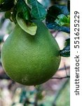 Small photo of Pomelo fruit hanging on tree in the garden. Pomelo fruit plant
