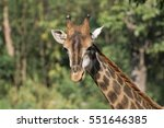 Image Of A Giraffe Head On...