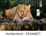 Siberian Ligr Eating Meat