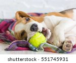 Stock photo beagle puppy with a ball 551745931