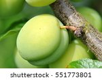 green apricot on branch | Shutterstock . vector #551773801