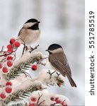 Winter Black  Capped Chickadee...