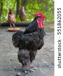 Black Cock Of Cochin China Breed