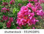 A Flower Of Bougainville