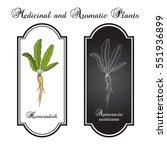 horseradish  cochlearia... | Shutterstock .eps vector #551936899