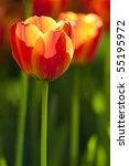 Close Up On Fresh Tulips In...