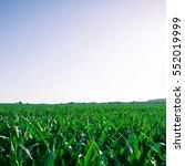 corn field agriculture. green...   Shutterstock . vector #552019999