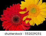 Small photo of Yellow and red gerber flowers with intertwined fingers petals, symbolizing friendship, mutual attraction, flirt, love and other emotions on black background.