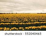 Beautiful Yellow Tulips...