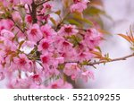 Blossoming Cherry Trees In...