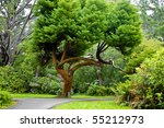 Cedar Tree In Park In Summer...
