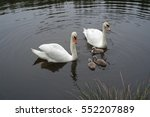 Swan Mother And Father With...