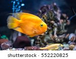 A Blood Parrot Cichlid