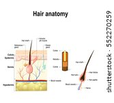 hair anatomy. diagram of a hair ... | Shutterstock .eps vector #552270259
