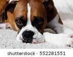 Female Purebred Boxer Dog Look...