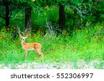 A Young Whitetail Fawn Stands...