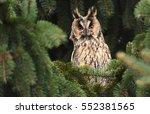 Long Eared Owl  Asio Otus